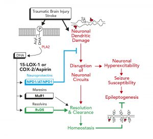 The role of DHA and its derivatives in homeostasis