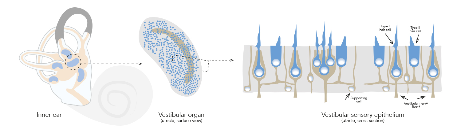 Maintaining the equilibrium: inner ear hair cell regeneration