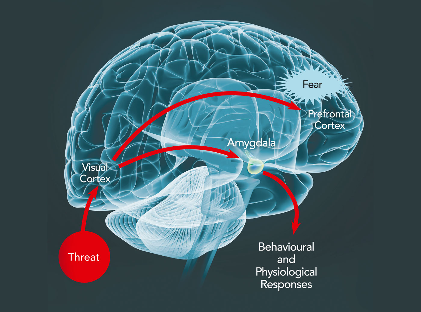 anxiety brain behavioral response