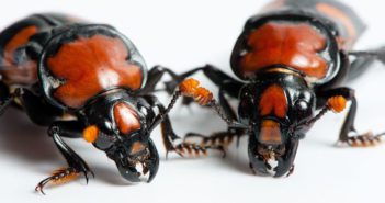 American burying beetle research features